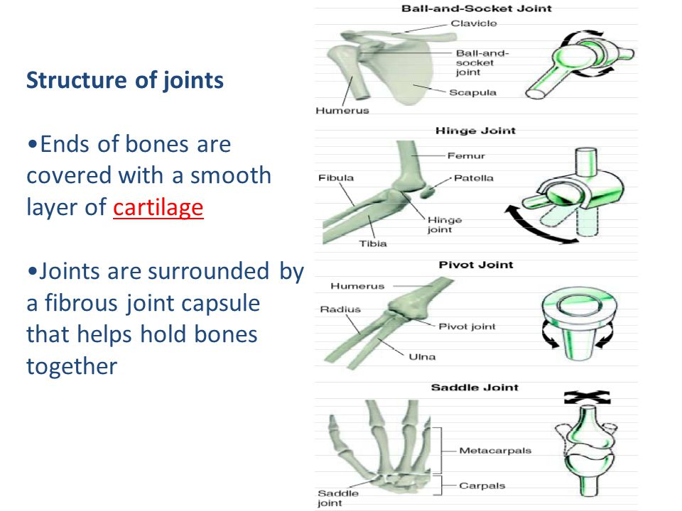 Structure of joints Ends of bones are covered with a smooth layer of cartilage Joints are surrounded by a fibrous joint capsule that helps hold bones together