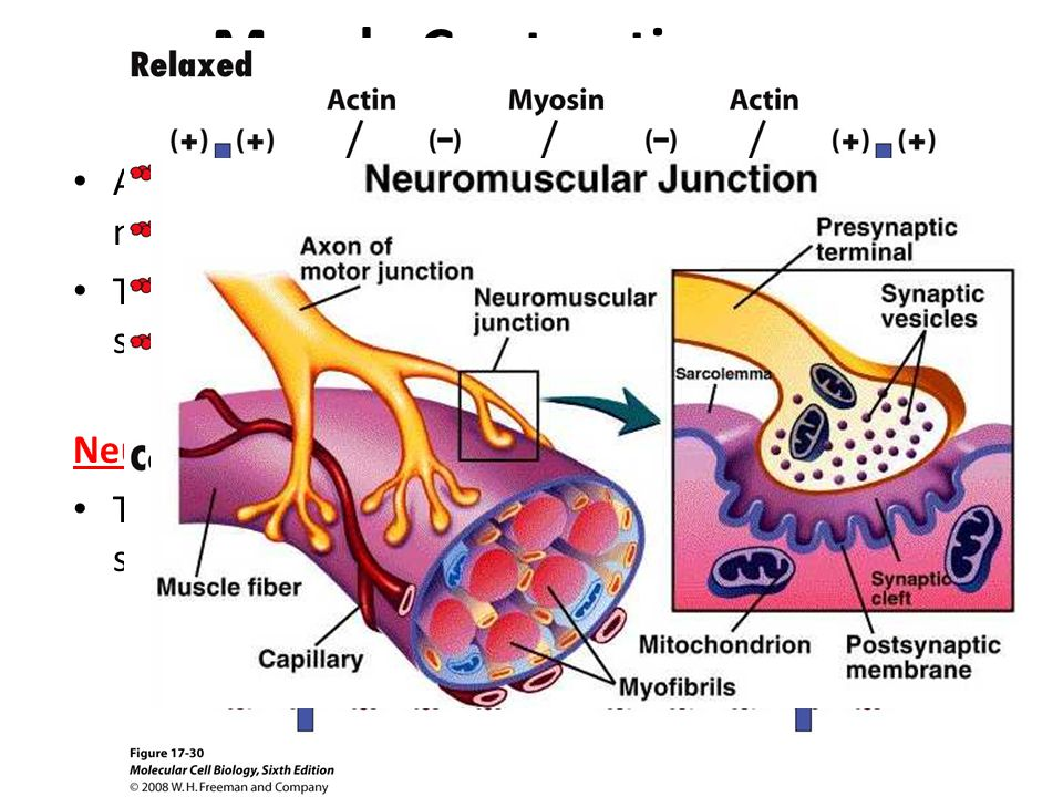 Muscle Contraction A muscle contracts when the thin filaments in the muscle fiber slide over the thick filaments The energy for muscle contraction is supplied by ATP Neuromuscular junction The point of contact between a motor neuron and a skeletal muscle cell