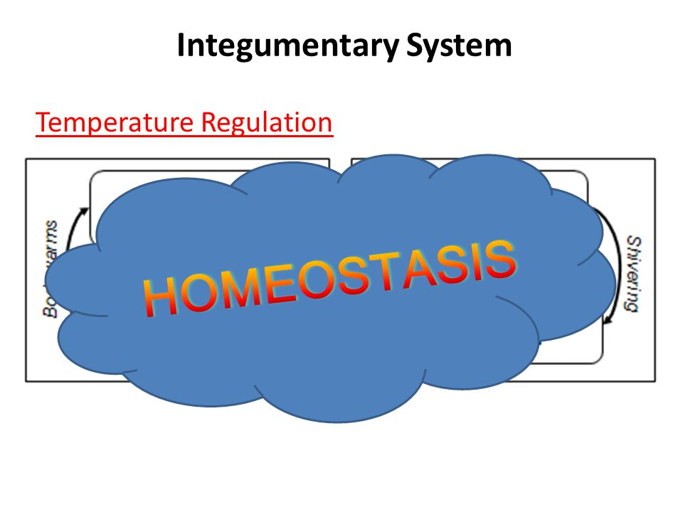 Integumentary System Temperature Regulation A network of blood vessels and nerves in the dermis help regulate body temperatures.