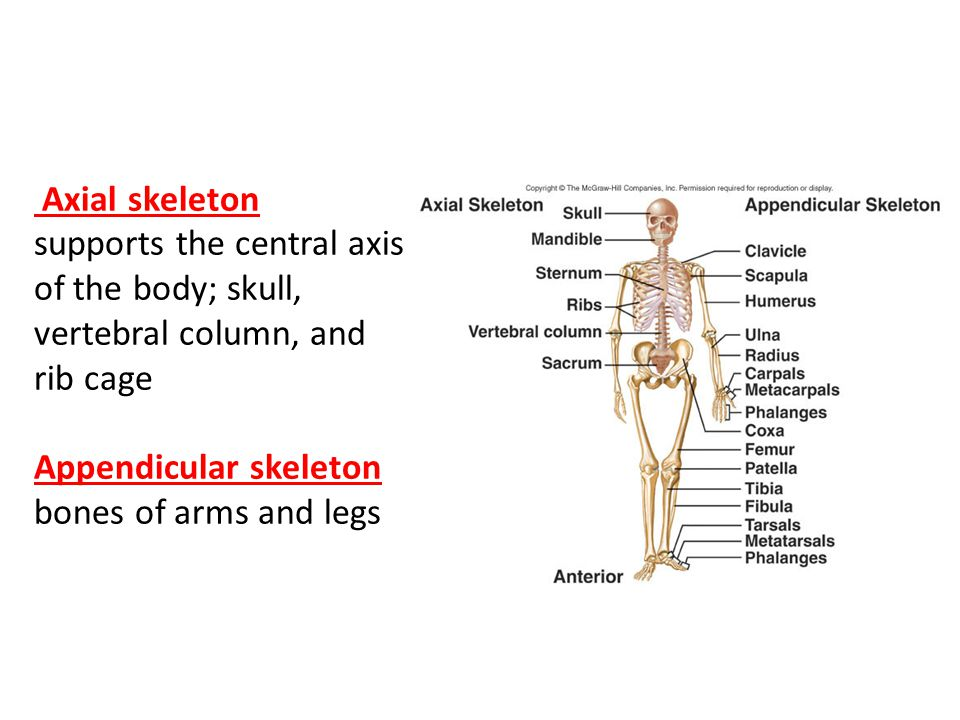 Axial skeleton supports the central axis of the body; skull, vertebral column, and rib cage Appendicular skeleton bones of arms and legs
