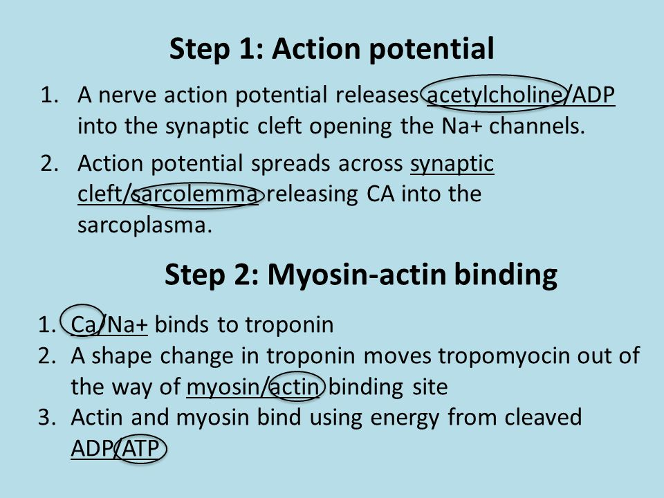 Step 1: Action potential 1.A nerve action potential releases acetylcholine/ADP into the synaptic cleft opening the Na+ channels. 2.Action potential sp