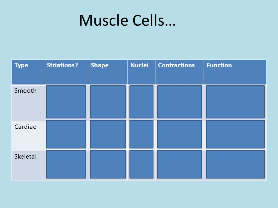 Muscle Cells… TypeStriations?ShapeNucleiContractionsFunction SmoothNoPointed on both ends 1Involuntary, slow contractions push materials through hollow organs CardiacYesIrregular1-2Involuntary, rhythmic Contraction of heart SkeletalYesCylindricalManyVoluntary, quick, forceful Facial expression, movement of skeletal structures