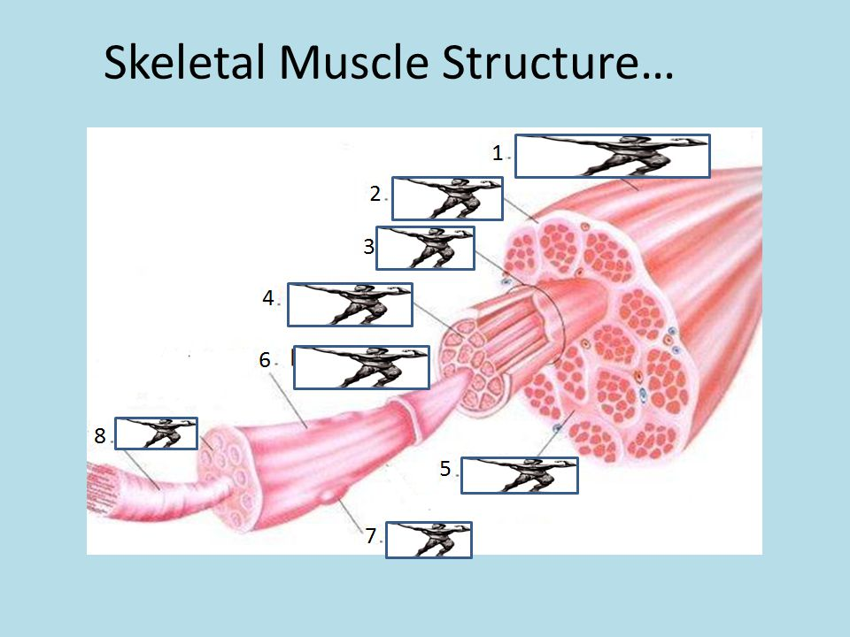 Skeletal Muscle Structure…