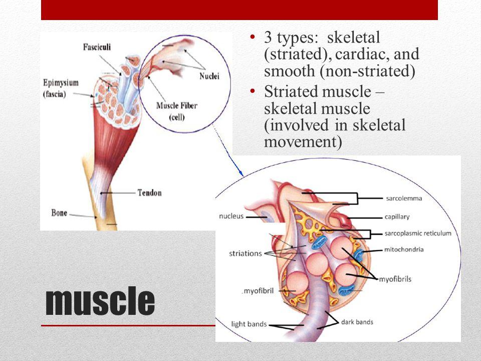 muscle 3 types: skeletal (striated), cardiac, and smooth (non-striated) Striated muscle – skeletal muscle (involved in skeletal movement)