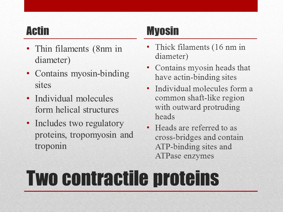 Two contractile proteins Actin Thin filaments (8nm in diameter) Contains myosin-binding sites Individual molecules form helical structures Includes tw