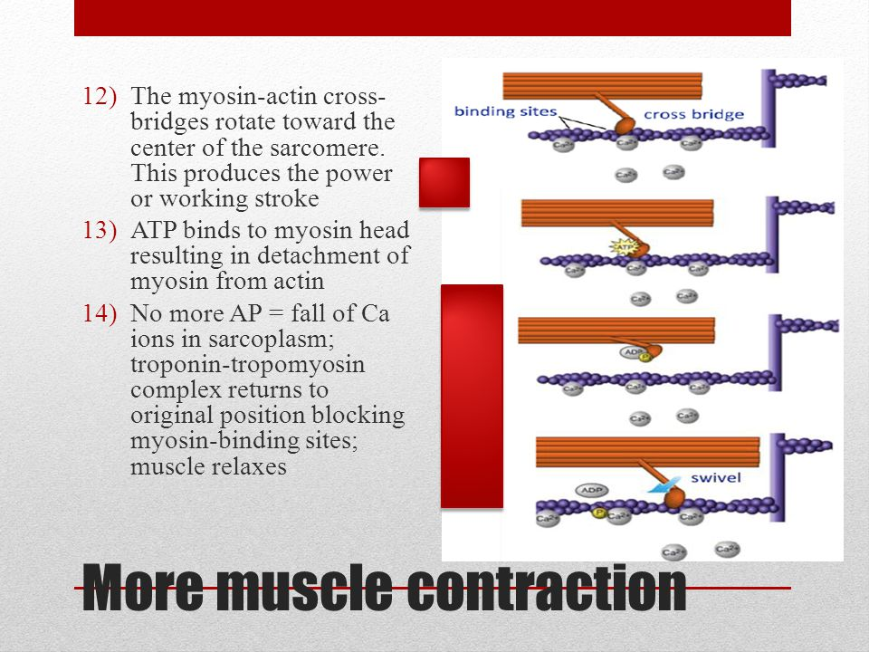 More muscle contraction 12)The myosin-actin cross- bridges rotate toward the center of the sarcomere. This produces the power or working stroke 13)ATP