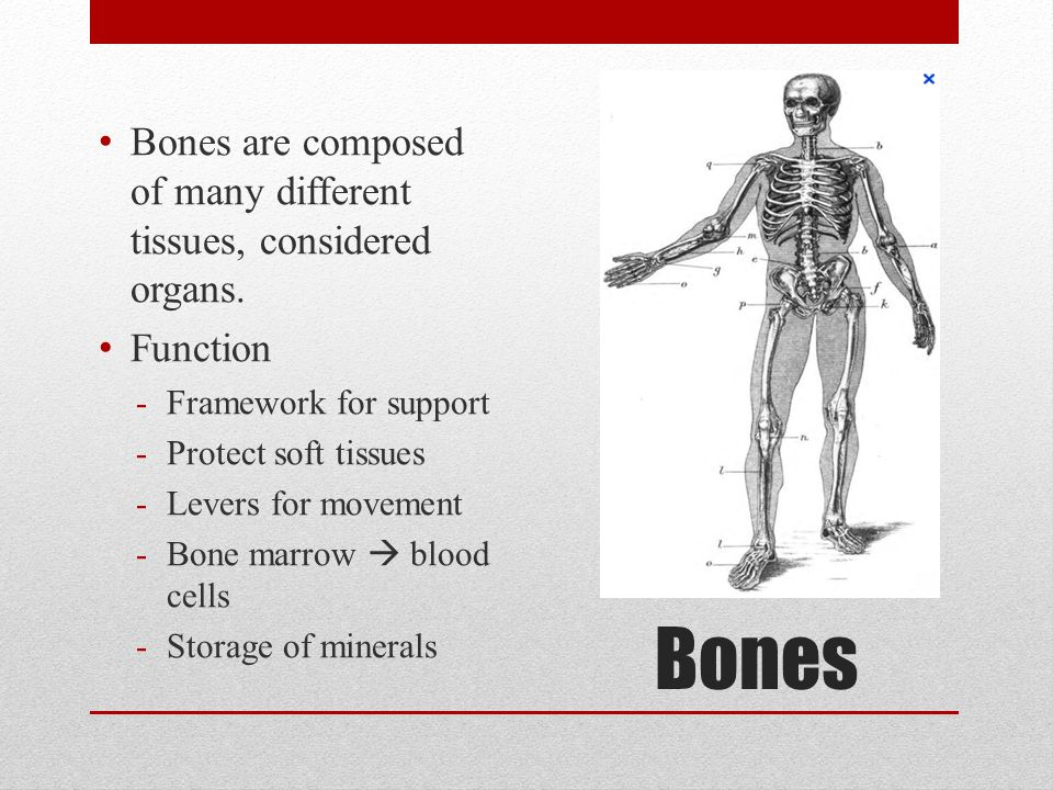 Bones Bones are composed of many different tissues, considered organs. Function -Framework for support -Protect soft tissues -Levers for movement -Bon