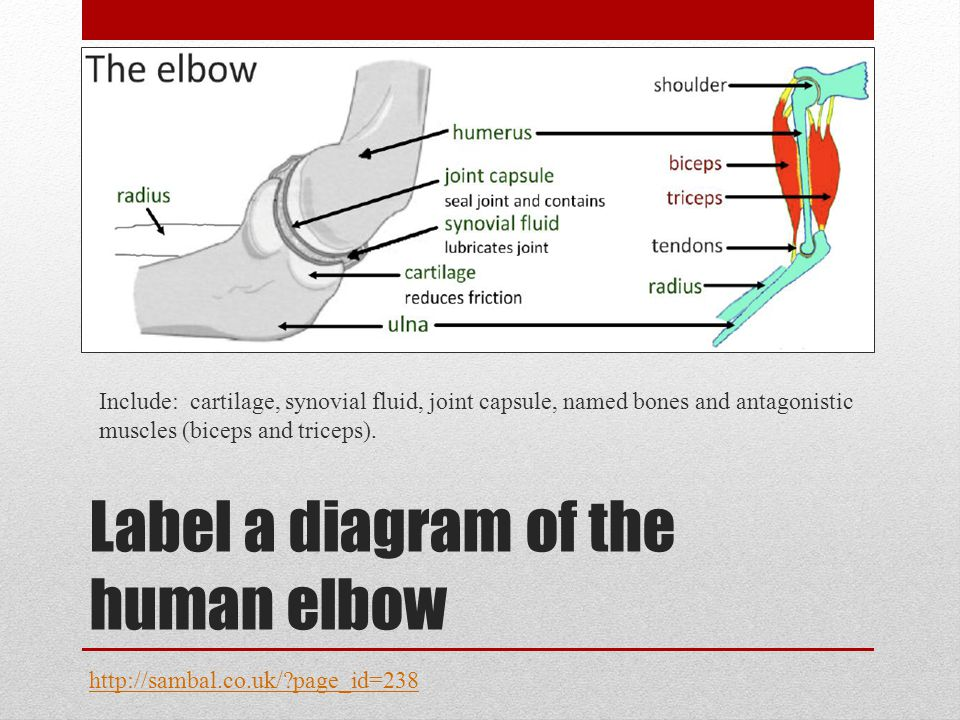 Label a diagram of the human elbow Include: cartilage, synovial fluid, joint capsule, named bones and antagonistic muscles (biceps and triceps). http: