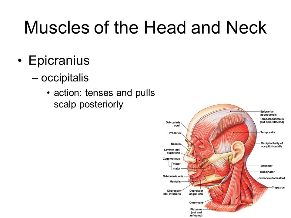 Muscles of the Head and Neck Epicranius –occipitalis action: tenses and pulls scalp posteriorly