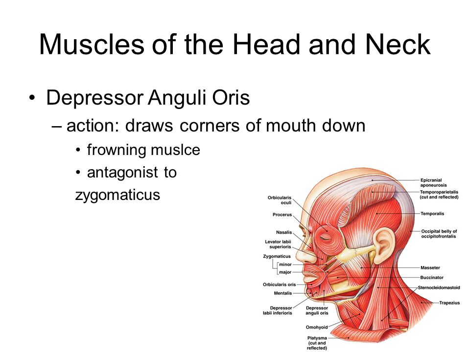 Muscles of the Head and Neck Depressor Anguli Oris –action: draws corners of mouth down frowning muslce antagonist to zygomaticus