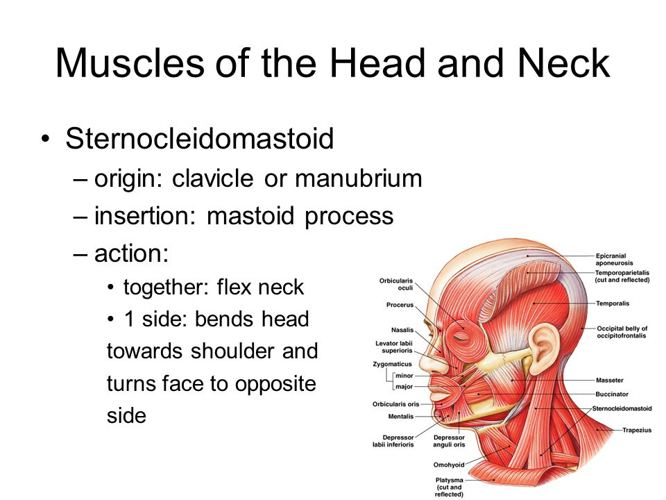 Muscles of the Head and Neck Sternocleidomastoid –origin: clavicle or manubrium –insertion: mastoid process –action: together: flex neck 1 side: bends