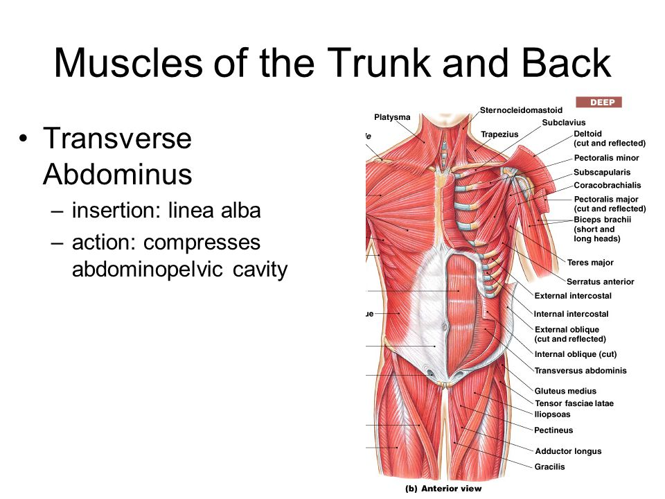 Muscles of the Trunk and Back Transverse Abdominus –insertion: linea alba –action: compresses abdominopelvic cavity