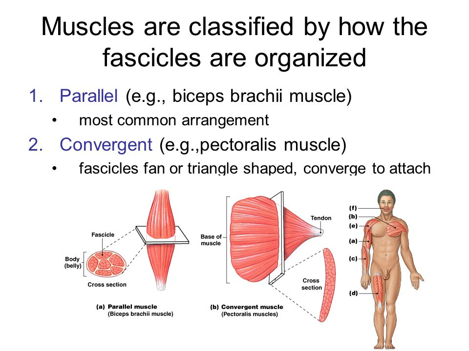 Muscles are classified by how the fascicles are organized 3.Pennate (unipennate, bipennate and multipennate) fasicles form angle toward tendon 4.Circular (e.g.,orbicularis oris) sphincter, contracts to reduce diameter of opening