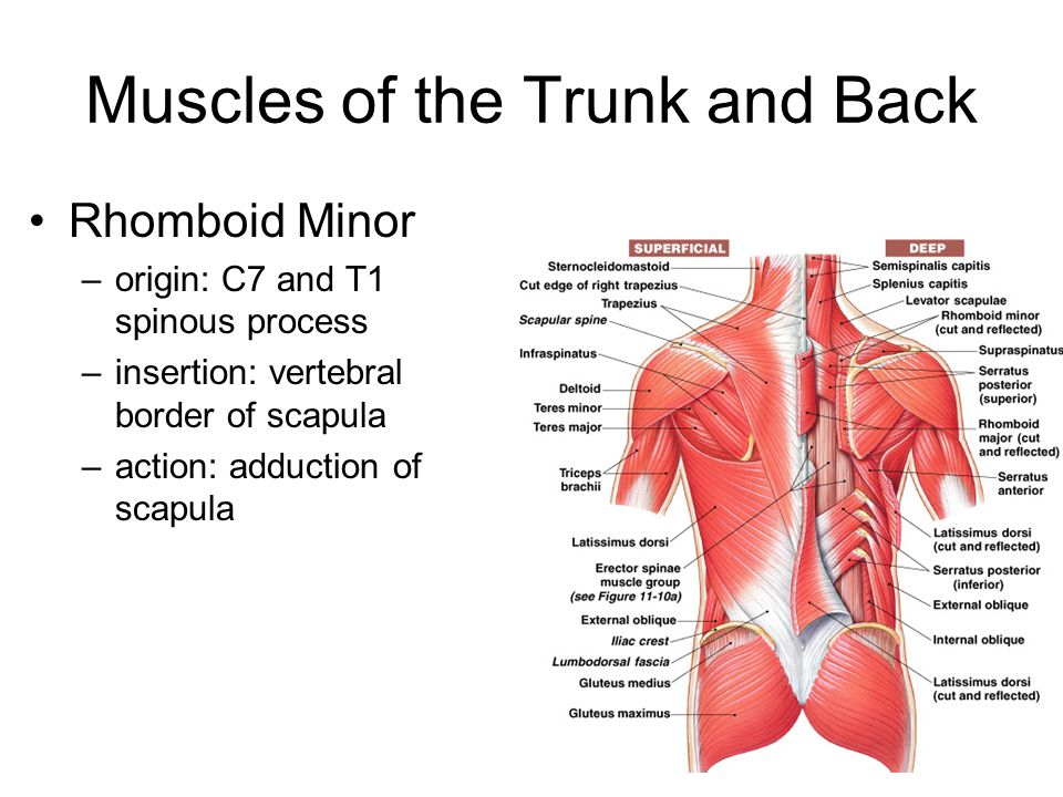 Muscles of the Trunk and Back Rhomboid Minor –origin: C7 and T1 spinous process –insertion: vertebral border of scapula –action: adduction of scapula