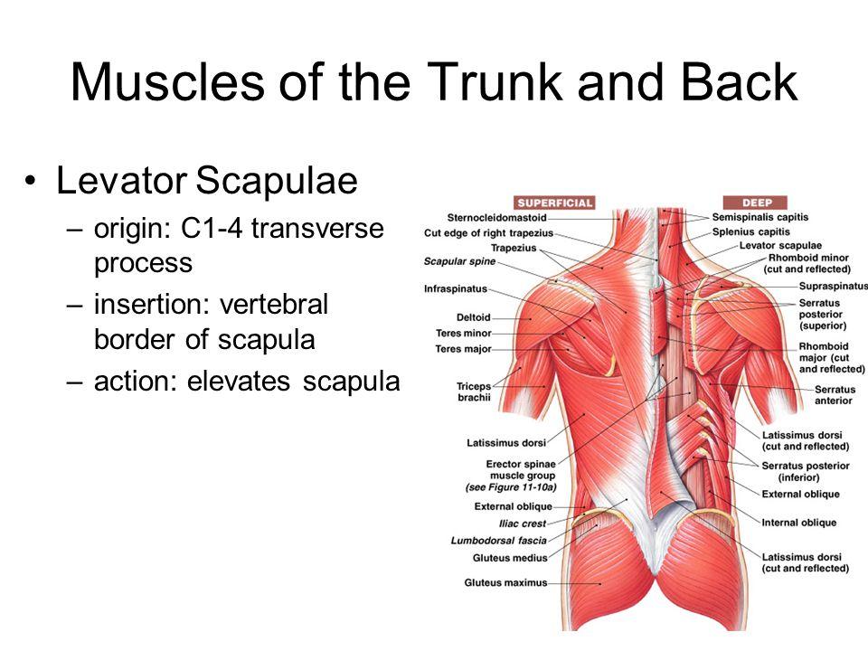 Muscles of the Trunk and Back Levator Scapulae –origin: C1-4 transverse process –insertion: vertebral border of scapula –action: elevates scapula