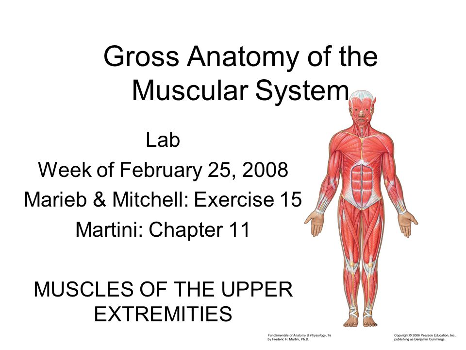 Gross Anatomy of the Muscular System Lab Week of February 25, 2008 Marieb & Mitchell: Exercise 15 Martini: Chapter 11 MUSCLES OF THE UPPER EXTREMITIES