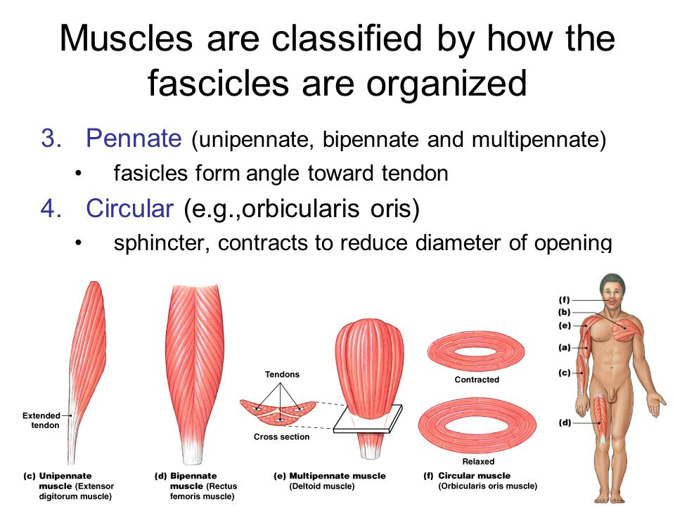 Origins and Insertions The ends of skeletal muscles are always attached to other structures –fixed end is called ORIGIN usually attached to bone or cartilage –movable end is called INSERTION usually proximal to insertion