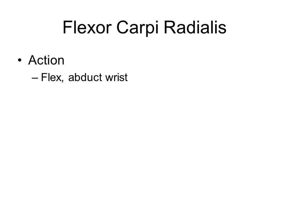 Flexor Carpi Radialis Action –Flex, abduct wrist