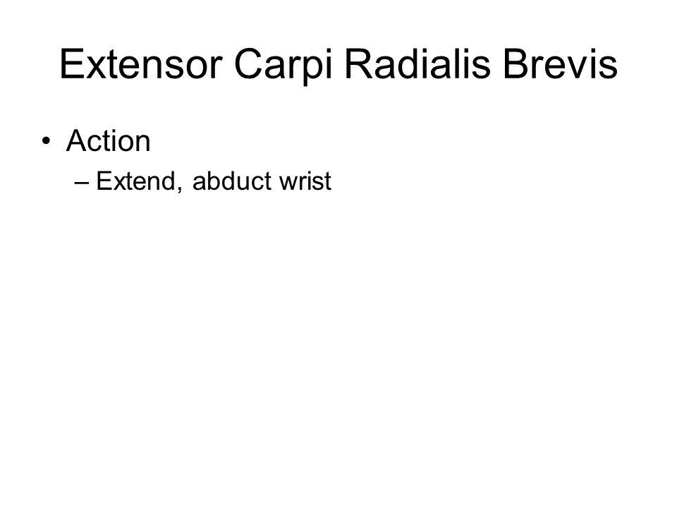 Extensor Carpi Radialis Brevis Action –Extend, abduct wrist