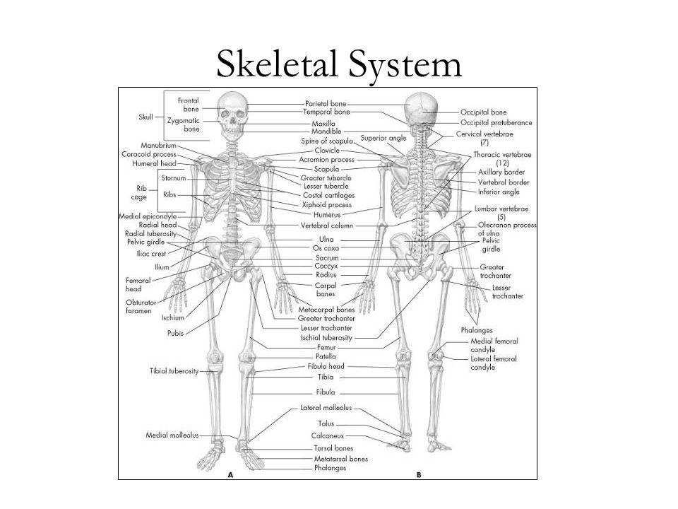Skeletal System Manual of Structural Kinesiology Foundations of Structural Kinesiology 1-1