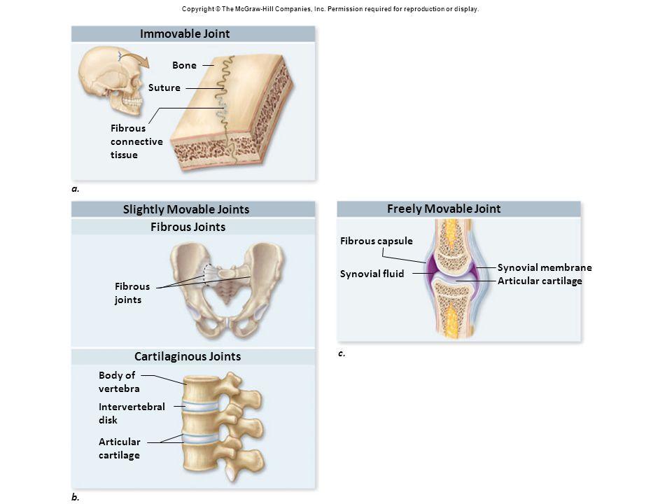Body of vertebra Fibrous joints Fibrous Joints Intervertebral disk Articular cartilage Fibrous connective tissue Bone Suture Immovable Joint a. Slight