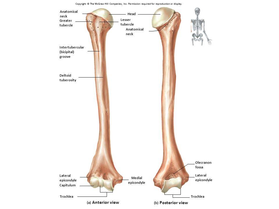 Olecranon Trochlear notch Coronoid process Proximal Radioular joint Neck Radius Ulna Interosseous membrane Distal Radioulnar joint Head Styloid process Neck Head Olecranon Ulna Radius Radial tuberosity
