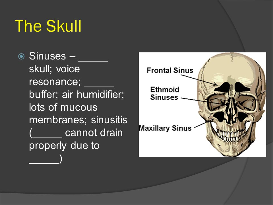 The Skull  Sinuses – _____ skull; voice resonance; _____ buffer; air humidifier; lots of mucous membranes; sinusitis (_____ cannot drain properly due