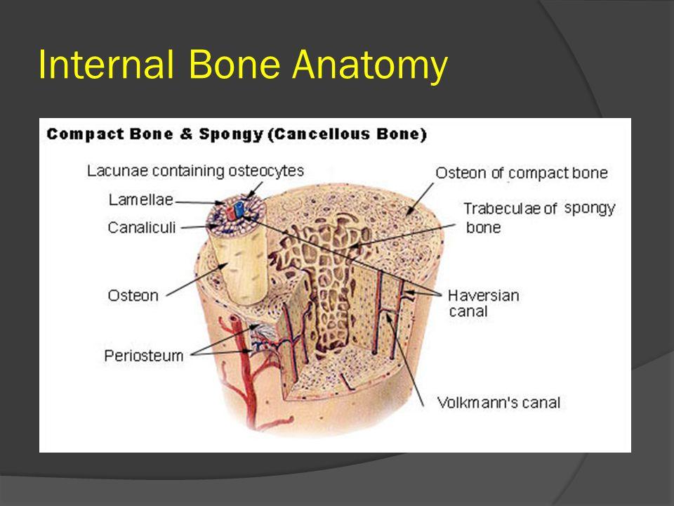 Internal Bone Anatomy