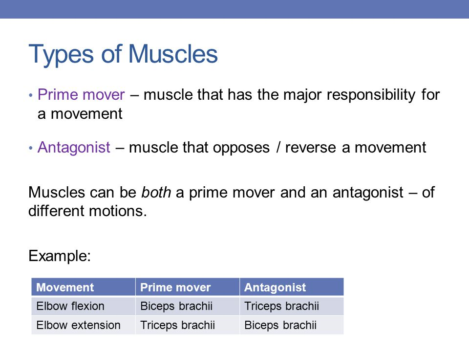 Types of Muscles Prime mover – muscle that has the major responsibility for a movement Antagonist – muscle that opposes / reverse a movement Muscles can be both a prime mover and an antagonist – of different motions.