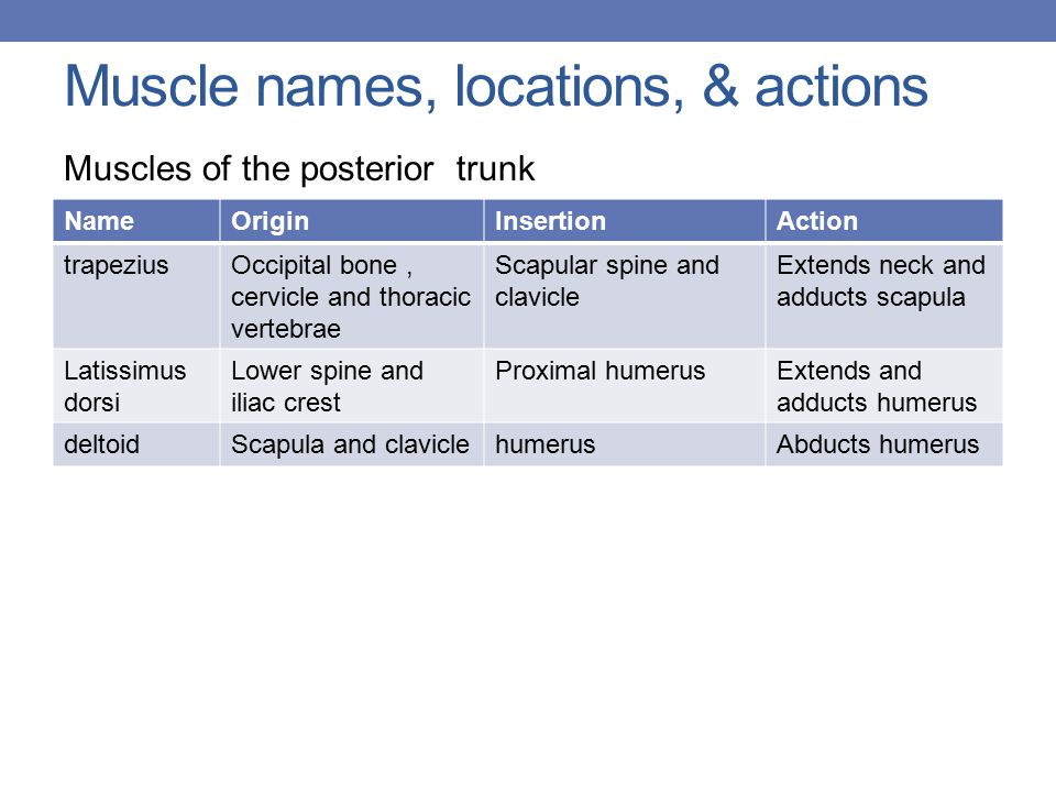 Muscle names, locations, & actions Muscles of the posterior trunk NameOriginInsertionAction trapeziusOccipital bone, cervicle and thoracic vertebrae Scapular spine and clavicle Extends neck and adducts scapula Latissimus dorsi Lower spine and iliac crest Proximal humerusExtends and adducts humerus deltoidScapula and claviclehumerusAbducts humerus