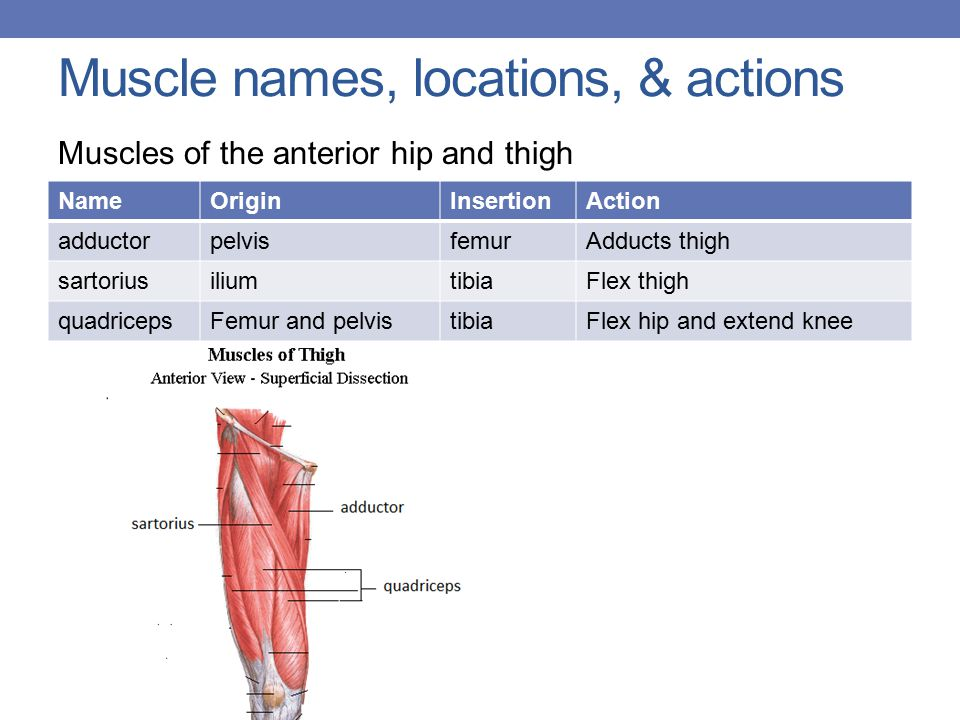 Muscle names, locations, & actions Muscles of the anterior hip and thigh NameOriginInsertionAction adductorpelvisfemurAdducts thigh sartoriusiliumtibiaFlex thigh quadricepsFemur and pelvistibiaFlex hip and extend knee