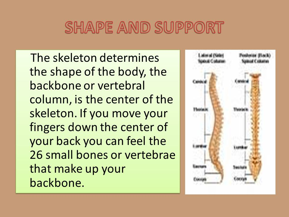 The skeleton determines the shape of the body, the backbone or vertebral column, is the center of the skeleton. If you move your fingers down the cent