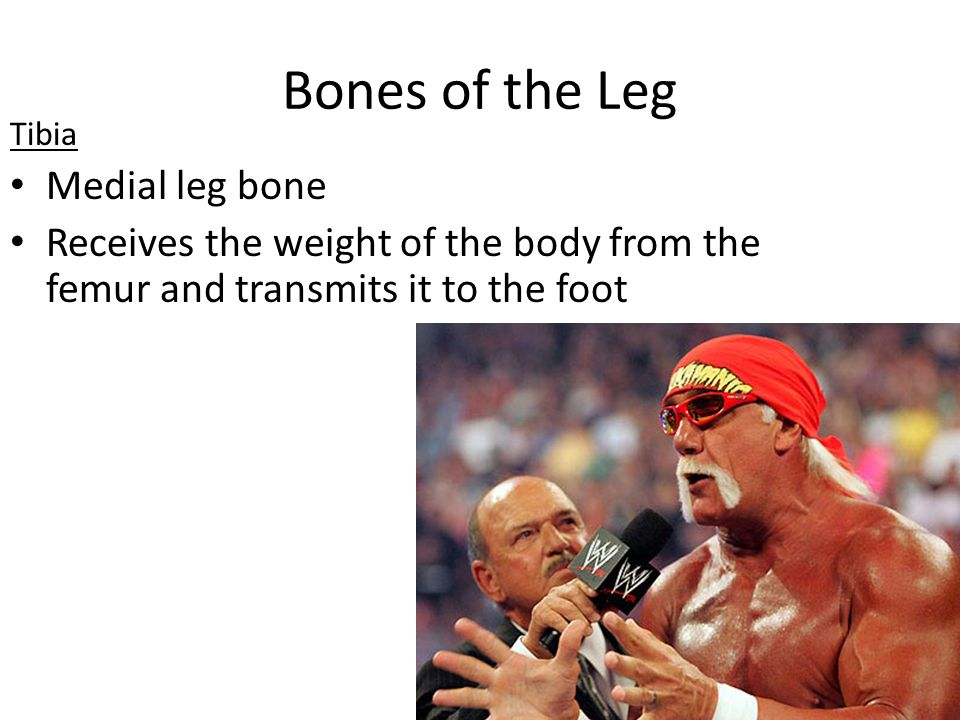 Bones of the Leg Tibia Medial leg bone Receives the weight of the body from the femur and transmits it to the foot