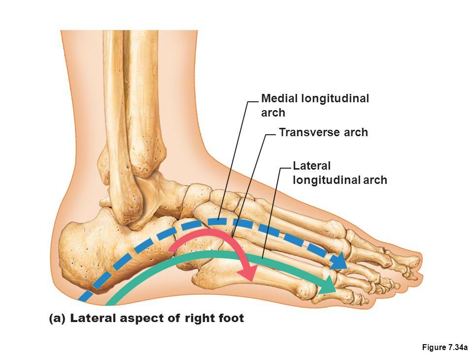 Figure 7.34a Medial longitudinal arch Transverse arch Lateral longitudinal arch (a) Lateral aspect of right foot