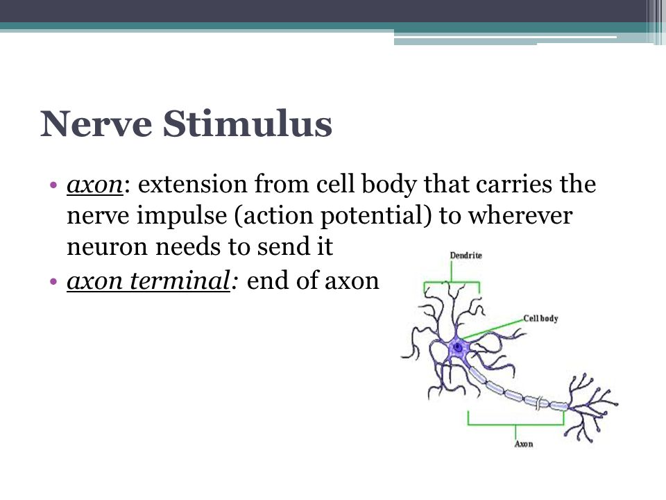 Nerve Stimulus axon: extension from cell body that carries the nerve impulse (action potential) to wherever neuron needs to send it axon terminal: end