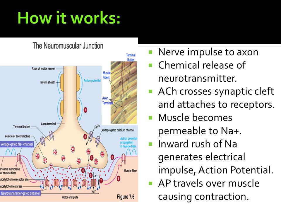  Nerve impulse to axon  Chemical release of neurotransmitter.