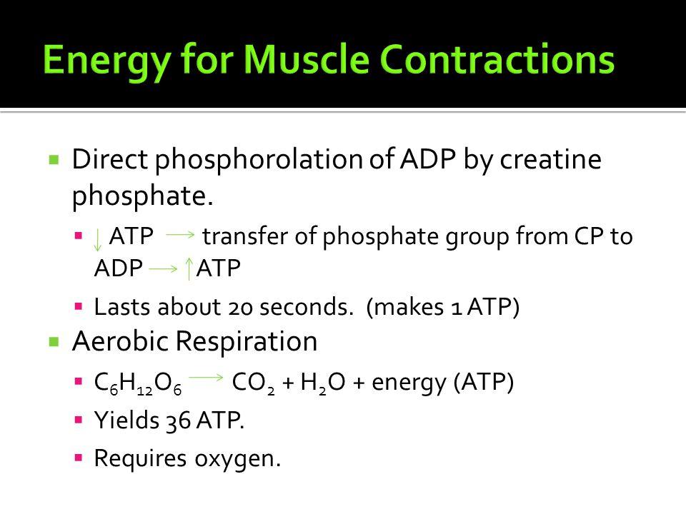  Direct phosphorolation of ADP by creatine phosphate.