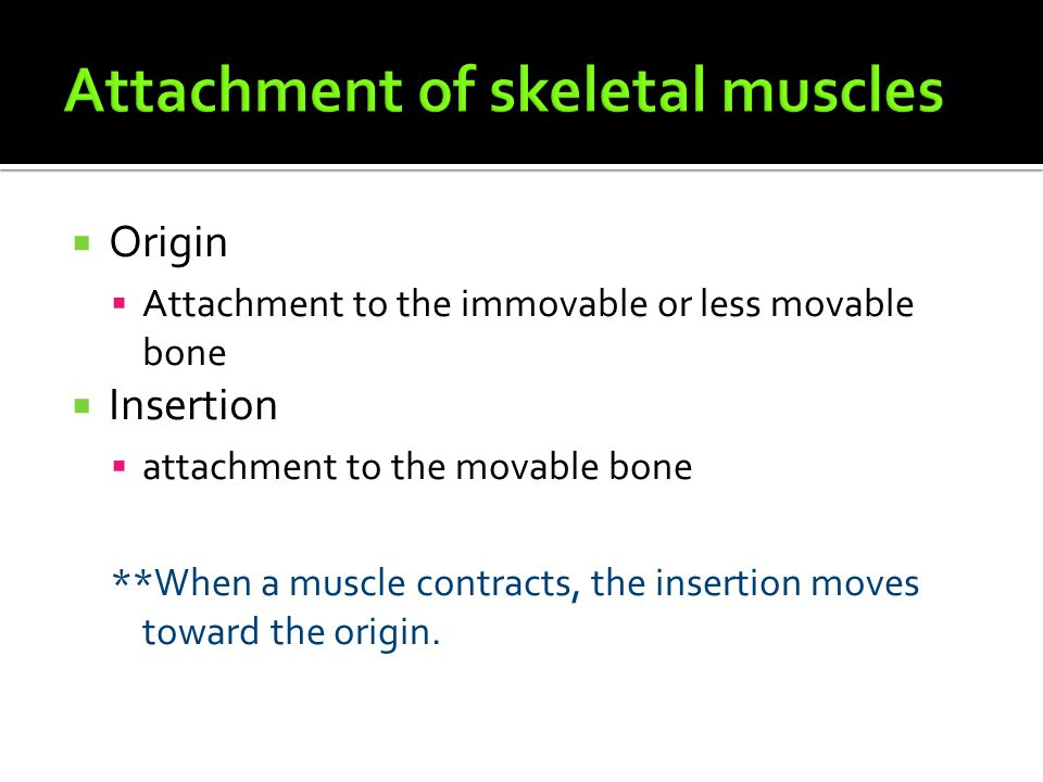  Origin  Attachment to the immovable or less movable bone  Insertion  attachment to the movable bone **When a muscle contracts, the insertion move