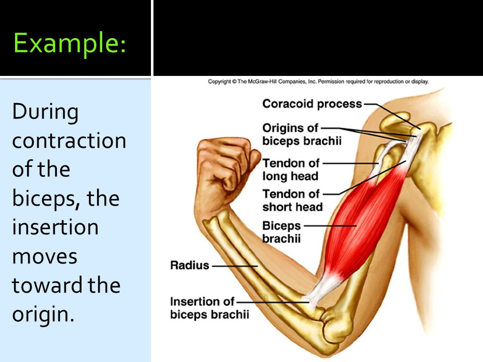 Example: During contraction of the biceps, the insertion moves toward the origin.