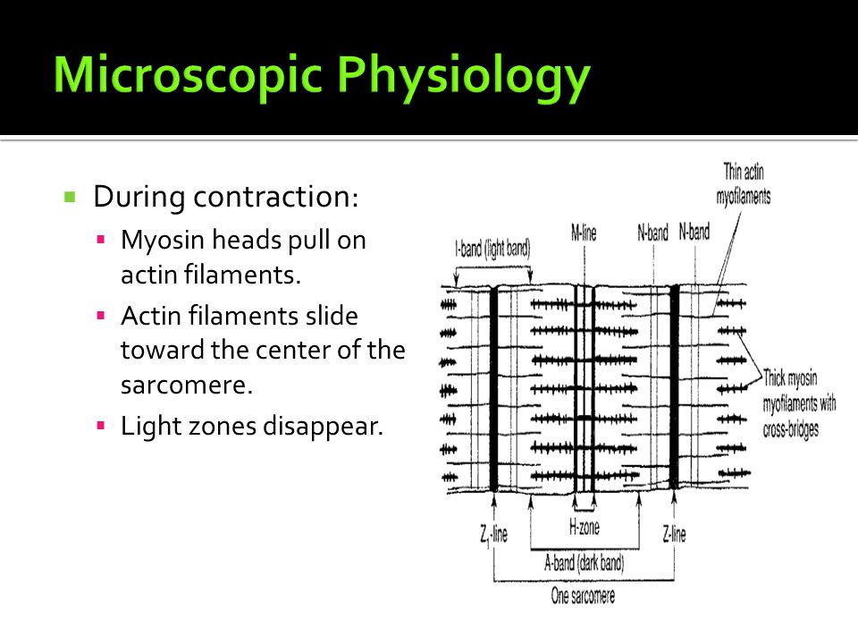  During contraction:  Myosin heads pull on actin filaments.  Actin filaments slide toward the center of the sarcomere.  Light zones disappear.