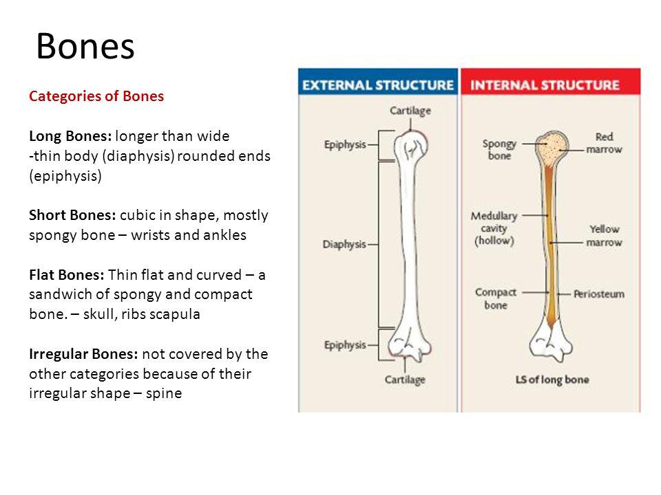 Bones Categories of Bones Long Bones: longer than wide -thin body (diaphysis) rounded ends (epiphysis) Short Bones: cubic in shape, mostly spongy bone