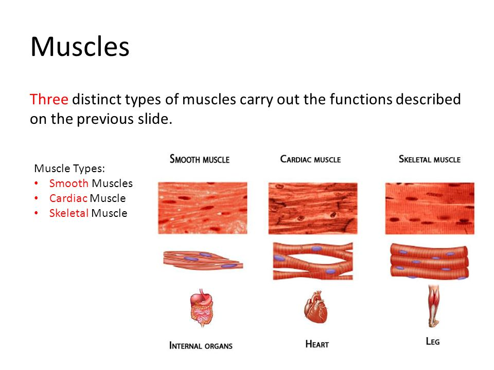 Muscles Three distinct types of muscles carry out the functions described on the previous slide. Muscle Types: Smooth Muscles Cardiac Muscle Skeletal