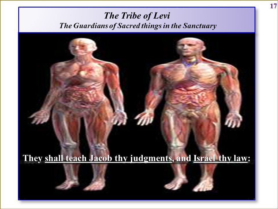 17 The Tribe of Levi The Guardians of Sacred things in the Sanctuary The Tribe of Levi The Guardians of Sacred things in the Sanctuary17 They shall teach Jacob thy judgments, and Israel thy law: