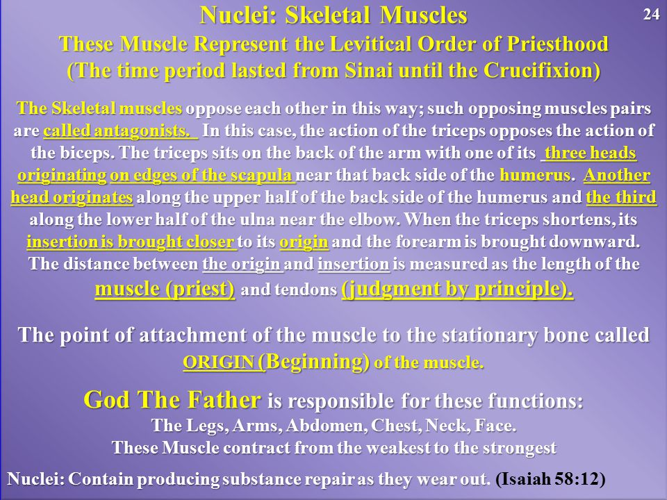 Nuclei: Skeletal Muscles These Muscle Represent the Levitical Order of Priesthood (The time period lasted from Sinai until the Crucifixion) The Skelet