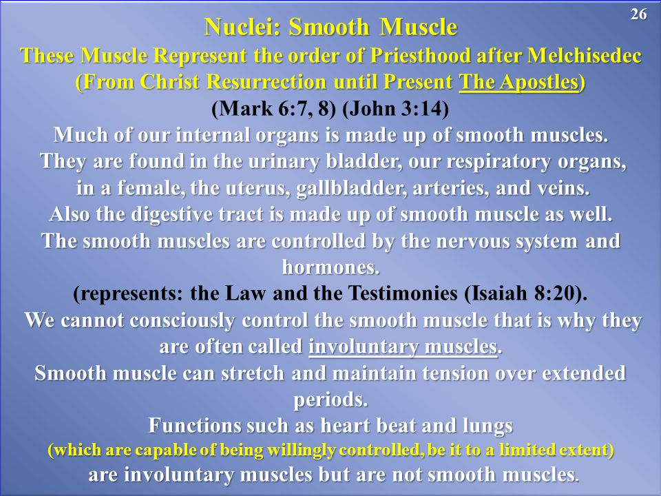 26 Nuclei: Smooth Muscle These Muscle Represent the order of Priesthood after Melchisedec (From Christ Resurrection until Present The Apostles) (Mark