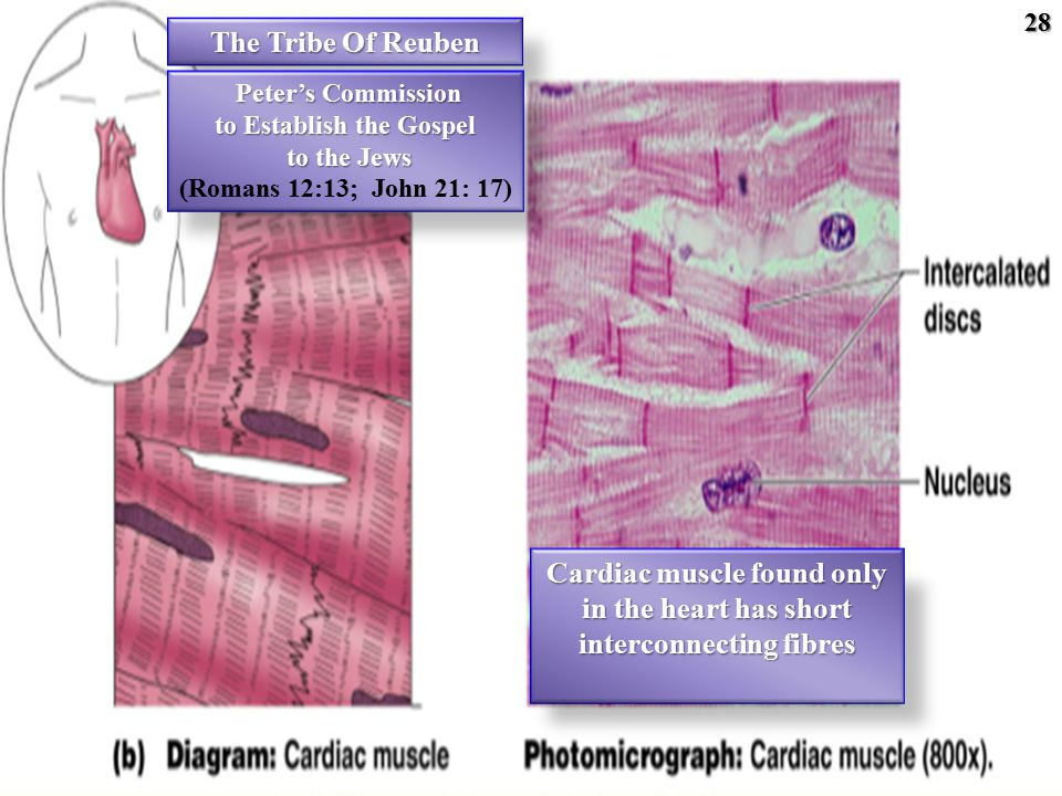 28 Cardiac muscle found only in the heart has short interconnecting fibres The Tribe Of Reuben Peter's Commission Peter's Commission to Establish the Gospel to the Jews to the Jews (Romans 12:13; John 21: 17)