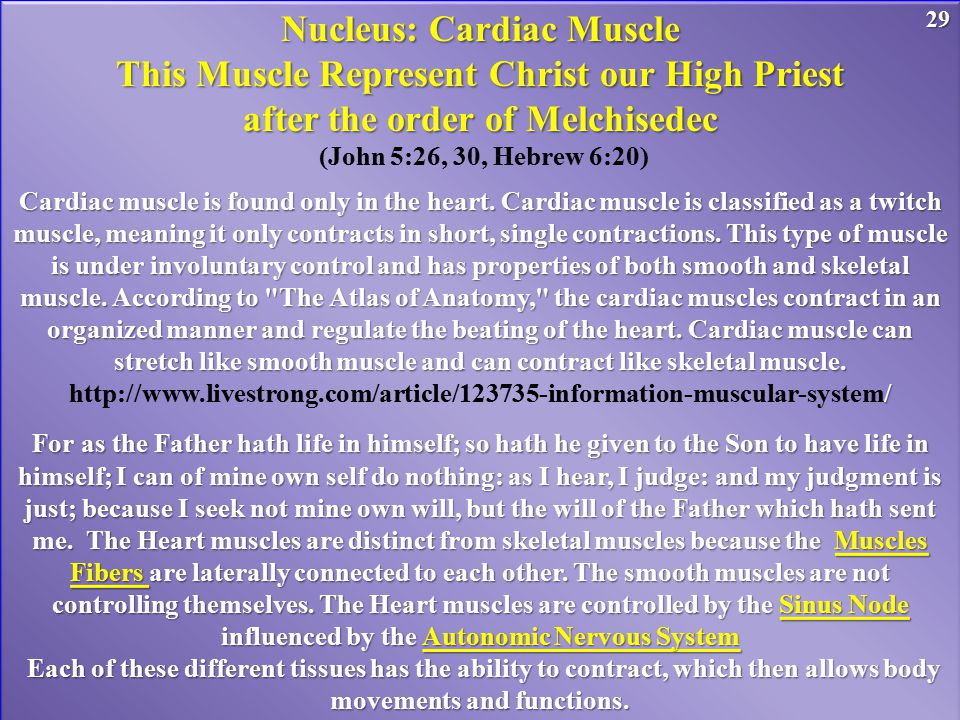 Nucleus: Cardiac Muscle This Muscle Represent Christ our High Priest after the order of Melchisedec (John 5:26, 30, Hebrew 6:20) Cardiac muscle is found only in the heart.
