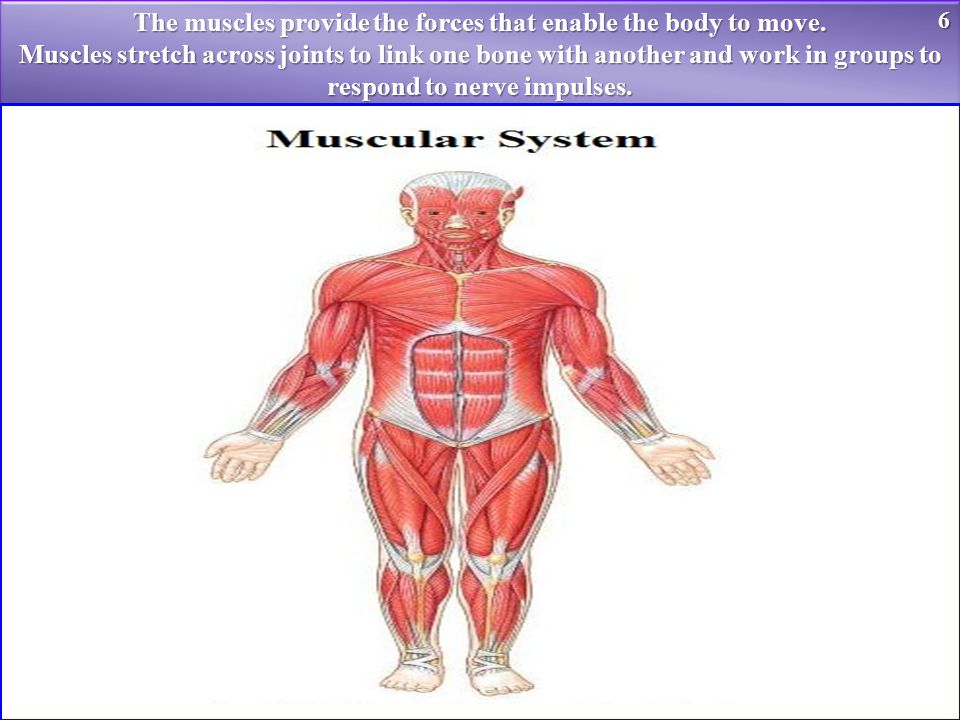 The muscles provide the forces that enable the body to move.