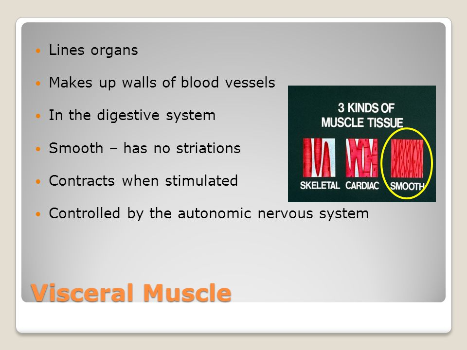 Visceral Muscle Lines organs Makes up walls of blood vessels In the digestive system Smooth – has no striations Contracts when stimulated Controlled b