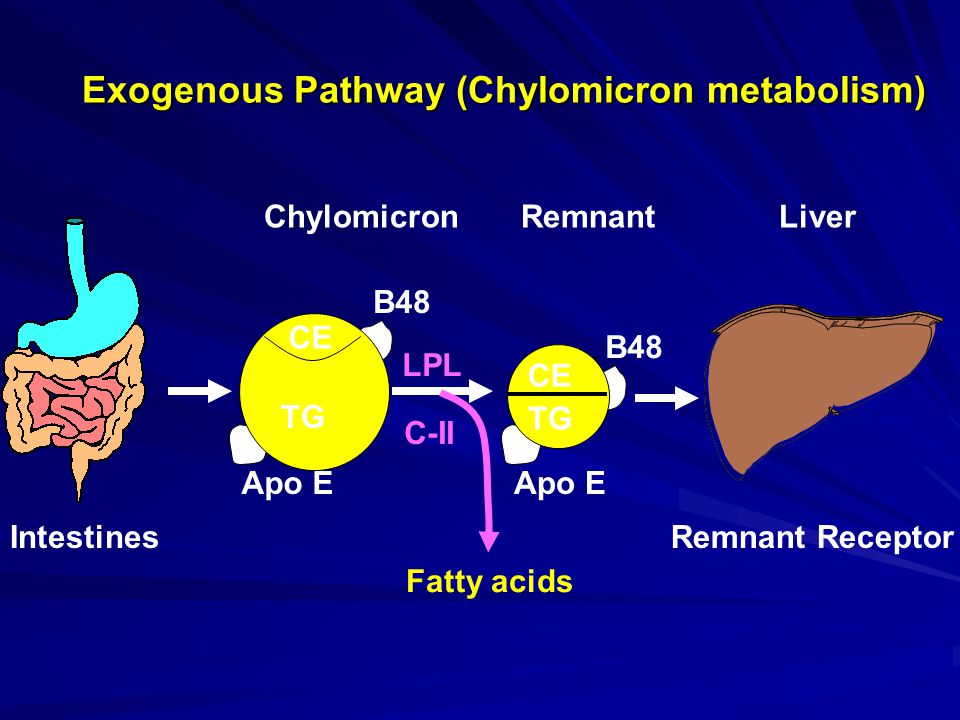 Apo E Exogenous Pathway (Chylomicron metabolism) B48 CE Chylomicron Remnant Liver Intestines CE B48 CE TG LPL C-II Fatty acids TG Remnant Receptor